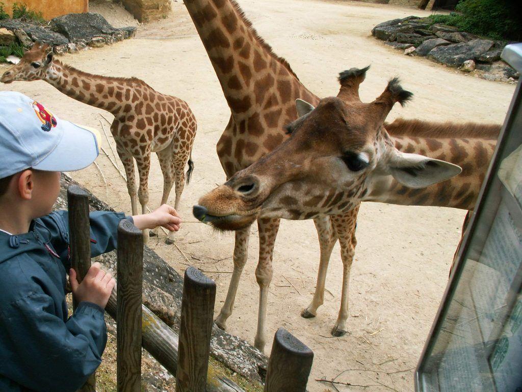 Les Girafes Zoo de Doué la Fontaine - Classe découverte Zoo